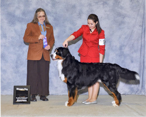 Espen 21 months, his 1st points towards their AKC championship